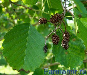 Как применяют листья и побеги белой акации при варикозе