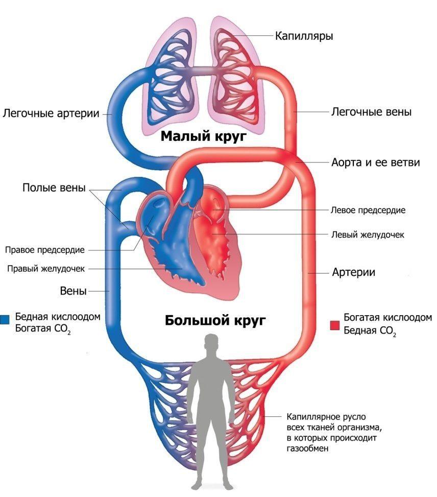 Сосудистая система представлена двумя кругами кровообращения