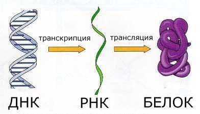 dogma-dna-rna-protein