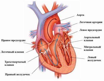 Сердце включает в себя