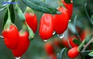 ягоды годжи в природе