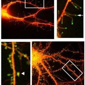 Новый взгляд на то, как головной мозг создает воспоминания