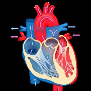 Распространенная мутация приводит к заболеваниям сердца