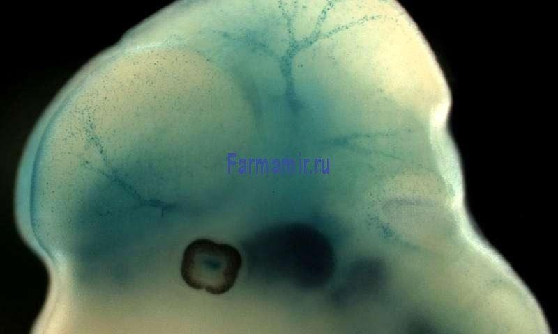 Голова эмбриона мыши