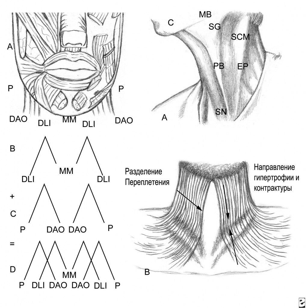 Анатомию мышц нижней губы