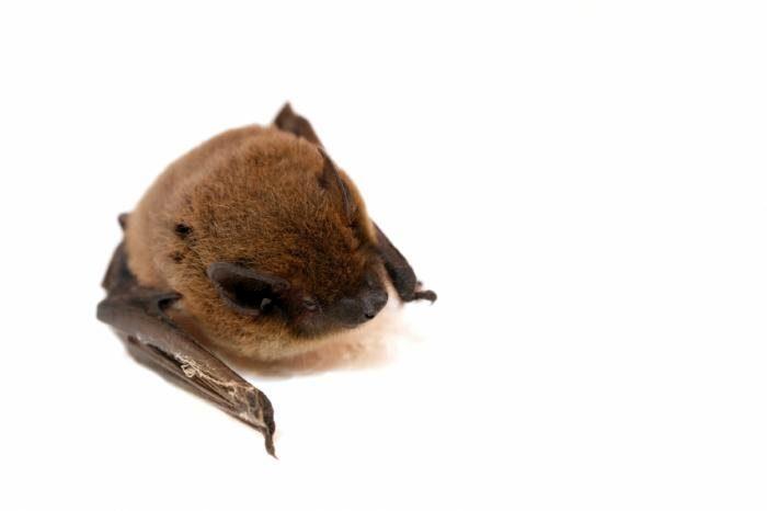 MERS-CoV  у летучих мышей