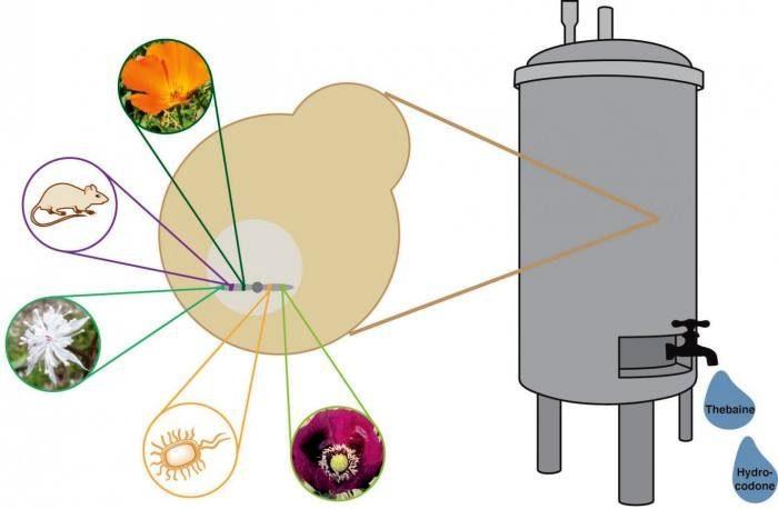 генетически модифицирование-дрожжевой