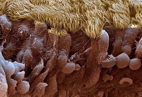 PRinc_rm_SEM_image_of_nasal_cilia
