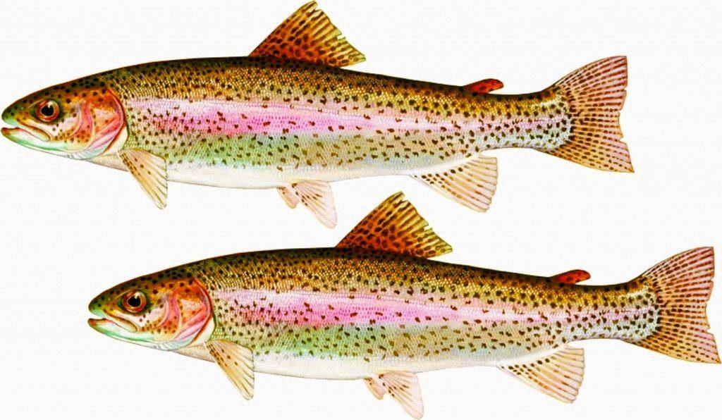 форель маслянная рыба