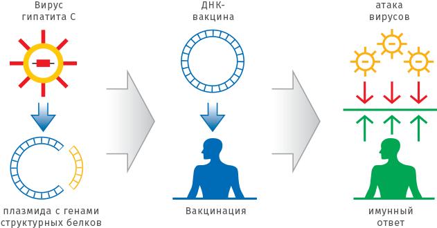 формирования иммунитета организмом