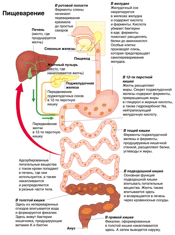 Дисбактериоз и его степени