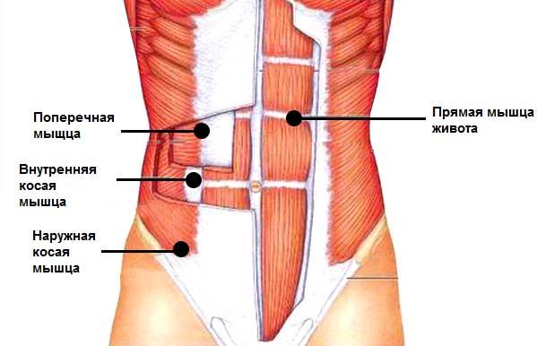 мышцы живота и боков