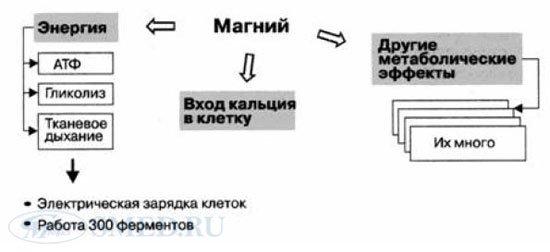 физиологическое действие магния