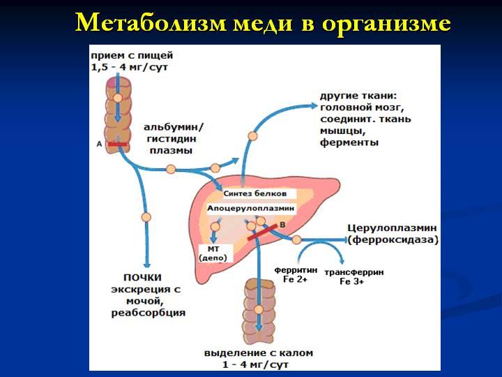 метаболизм меди в организме