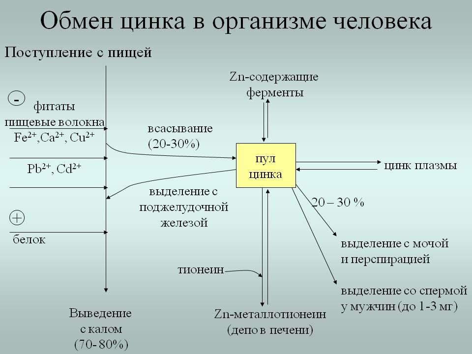 обмен цинка в организме