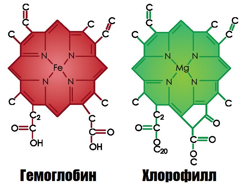 хлорофил и гемоглобин фото