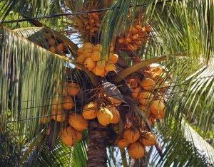 Экстракт пальмы сабаль