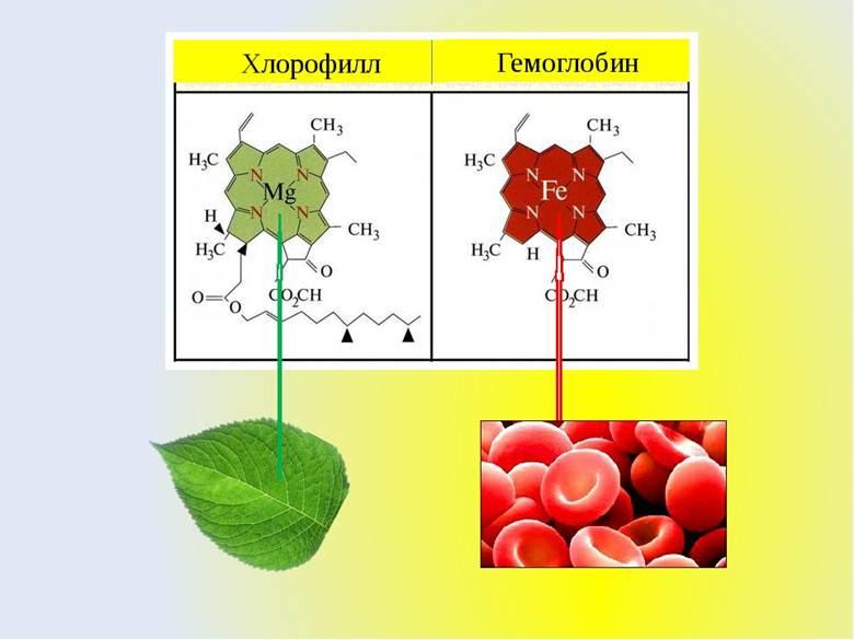 Хлорофилл и гемоглобин