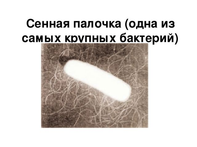 сенная палочка самая большая бактерия