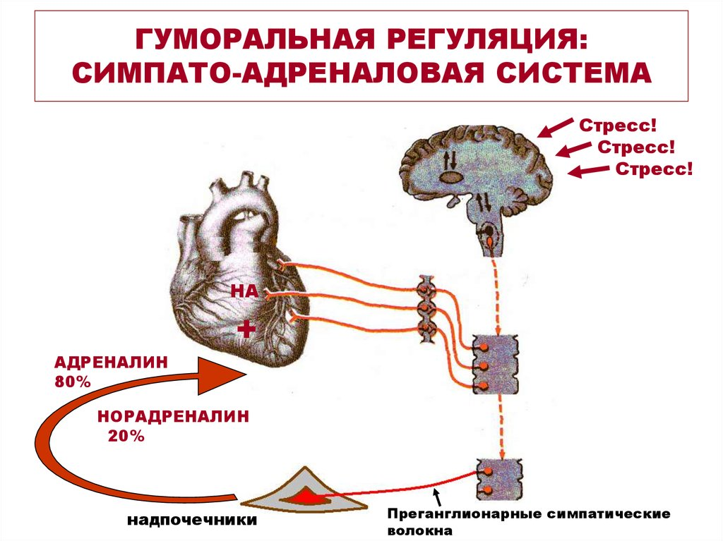 Гуморальная регуляция симпато-адреналовая система