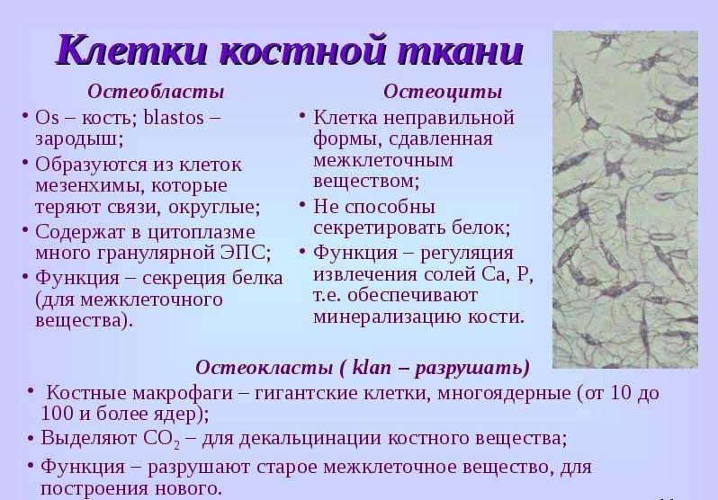 клетки костной ткани
